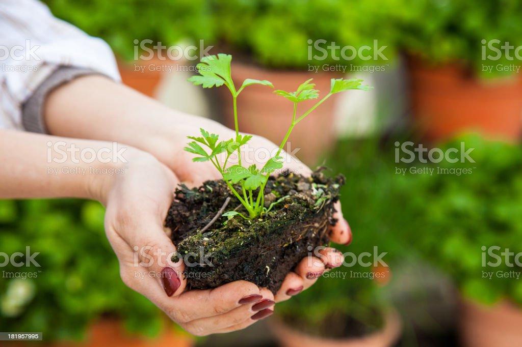 Parsley to harvest stock photo