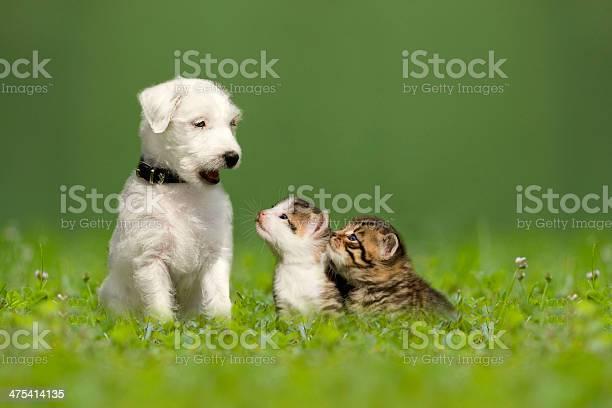 Parson jack russell terrier puppy with two little kittens picture id475414135?b=1&k=6&m=475414135&s=612x612&h=wfuie2knwjzdcg6rzsn9aatw9k927ixm1wqd3q9au10=