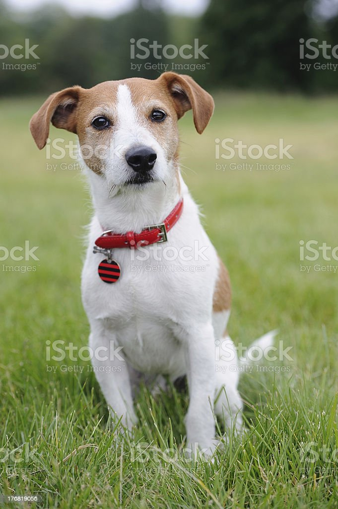 Parson Jack Russell Terrier sitting in a park stock photo