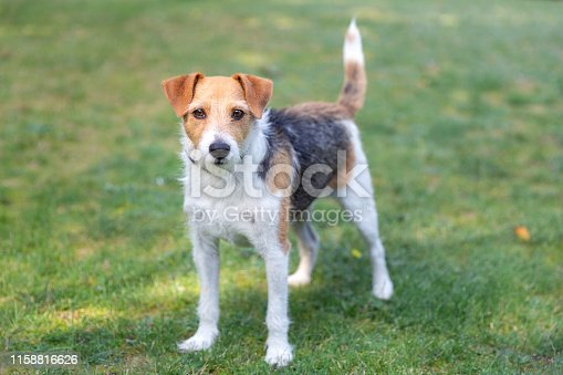 Portrait of a dog, Parson Russel Terrier