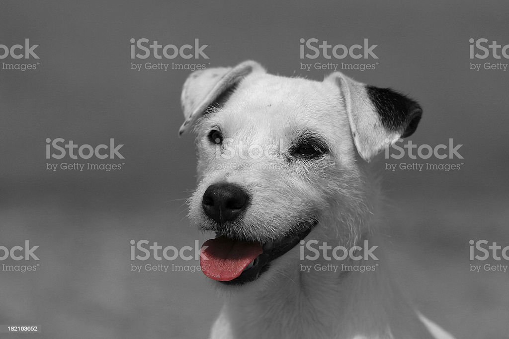 Parson Russel Terrier royalty-free stock photo