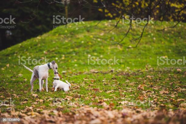 Parson russell terrier and greyhound picture id997539810?b=1&k=6&m=997539810&s=612x612&h=tz0vlx0ab 9zgnpawlheziglbsy8fikfjpv9kfccthu=