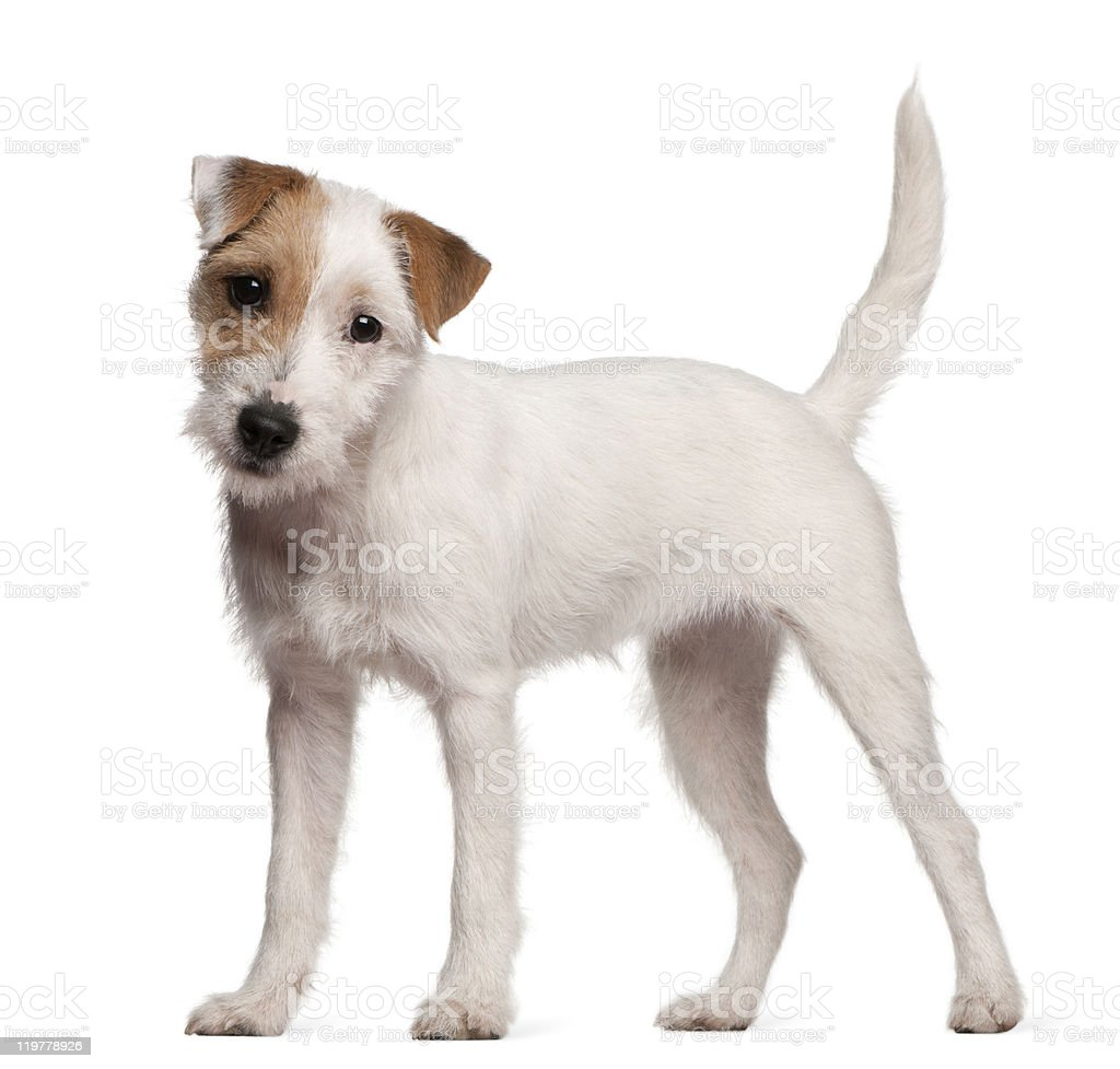 Parson Russell Terrier puppy, 6 months old, standing, white background stock photo