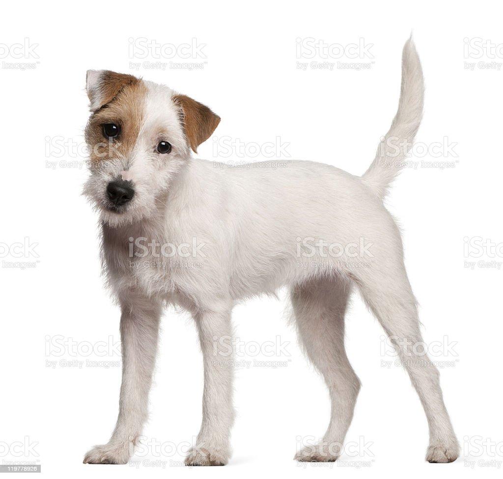 Parson Russell Terrier cachorro, 6 meses de antigüedad, de pie, fondo blanco - foto de stock