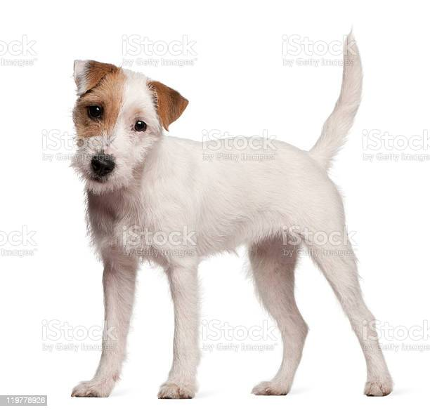 Parson russell terrier,terrier,dog,puppy,cute - free photo