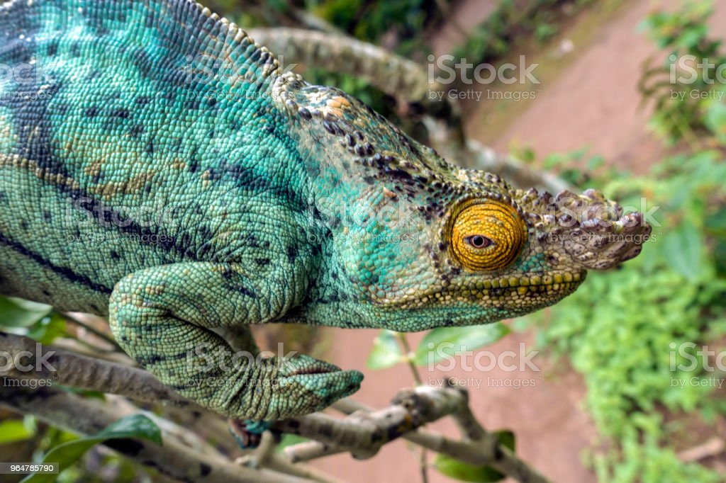 Parsons chameleon (Calumma parsonii) in Madagascar royalty-free stock photo