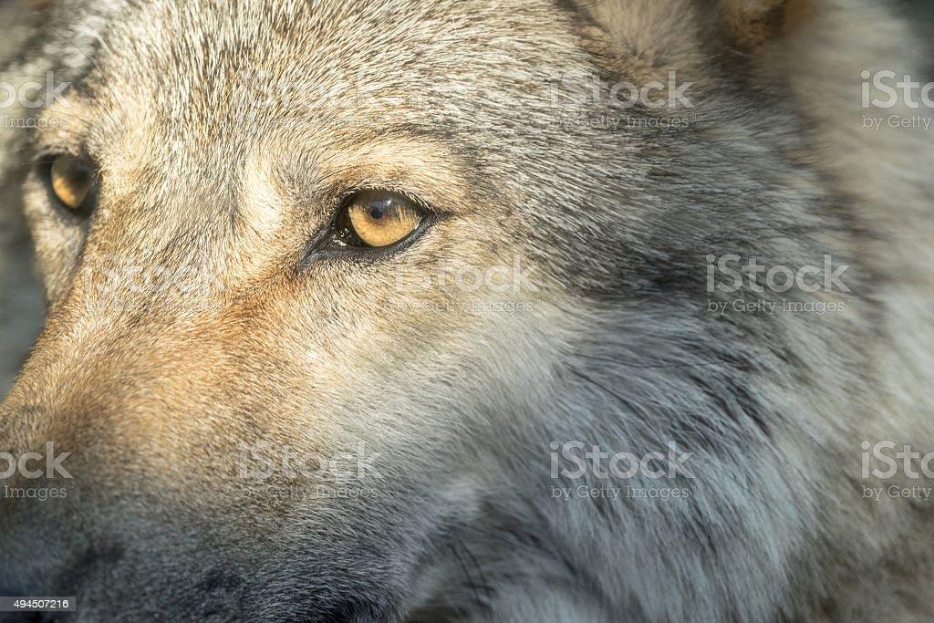 part muzzle of a gray wolf closeup stock photo