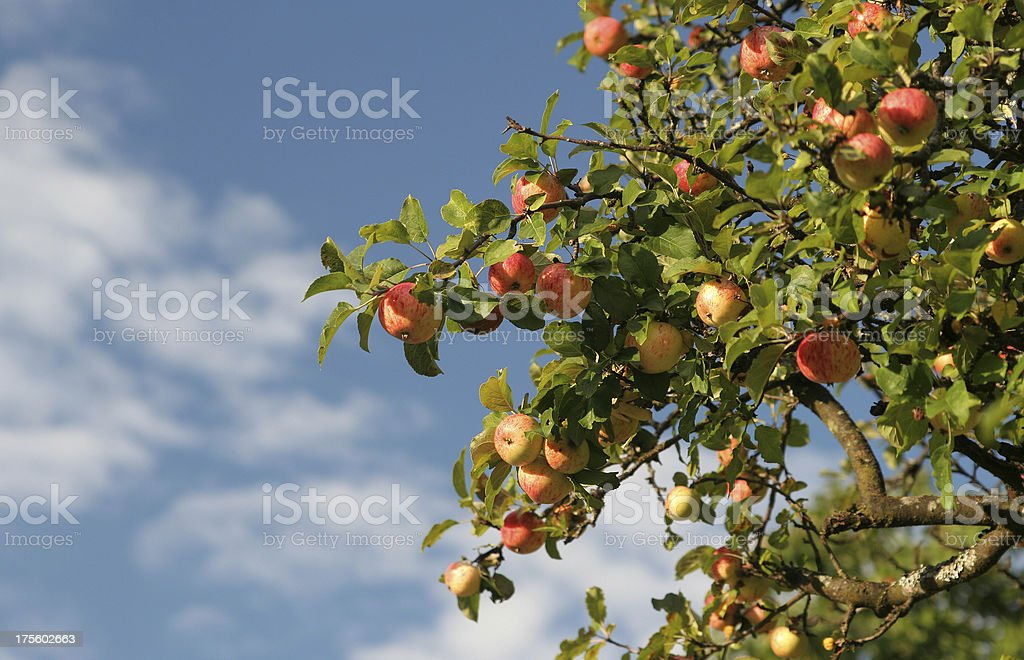 Part of a apple tree stock photo