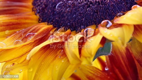 Part of a sunflower head with drops of dew on petals