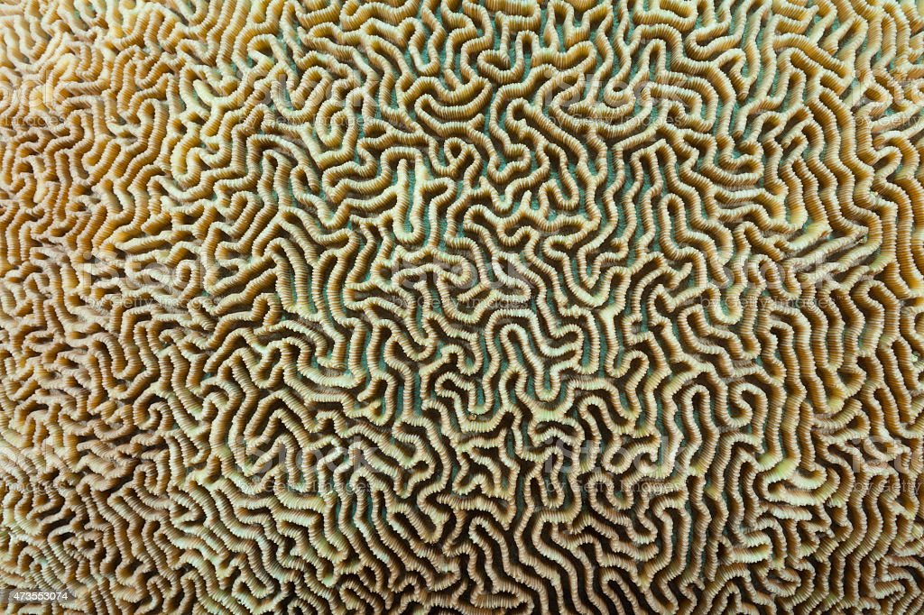 Part of Brain Coral Labyrinth, Beautiful Structure, Raja Ampat, Indonesia stock photo