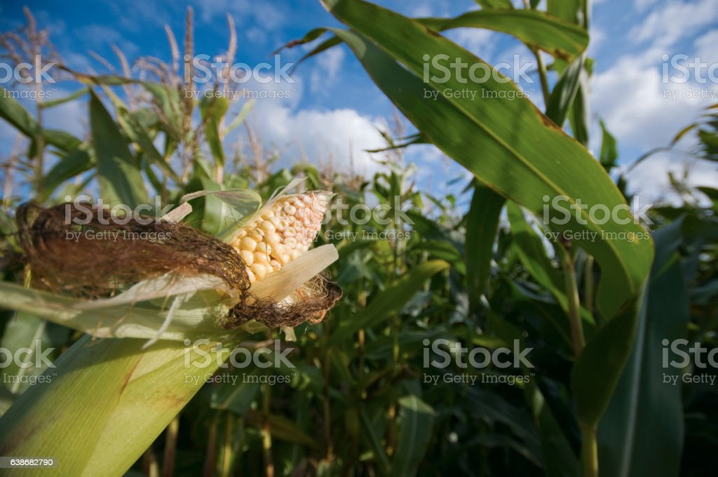 part of maize stock photo