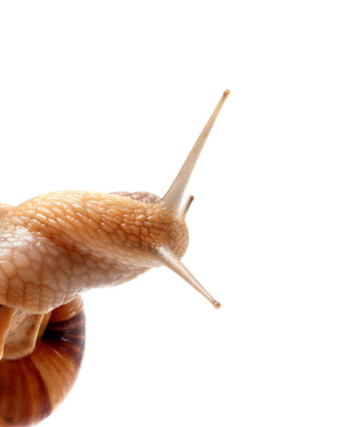 Part of snail isolated on white - foto stock