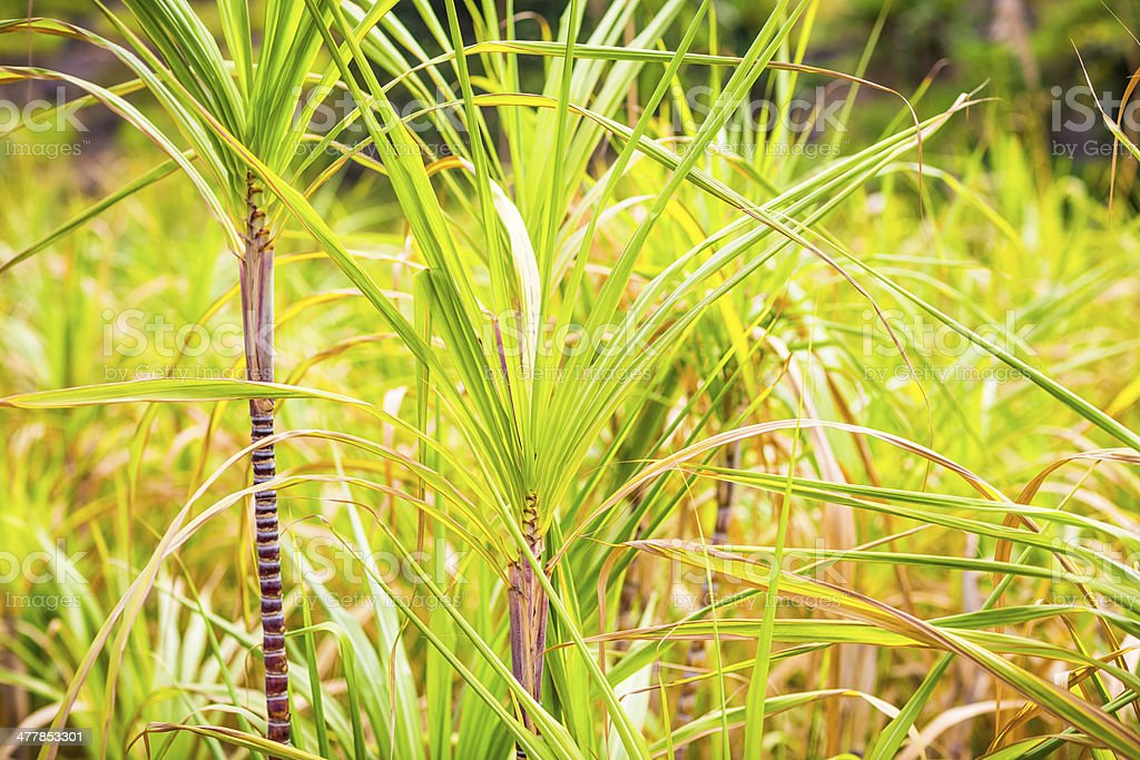 Part of Sugarcane plant royalty-free stock photo