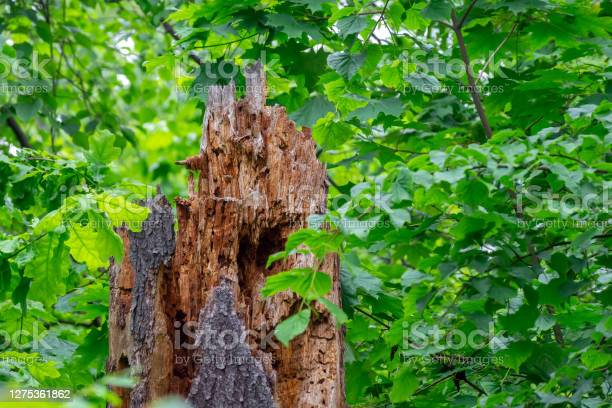Photo of Part of the trunk of a dead tree eaten by bark beetles