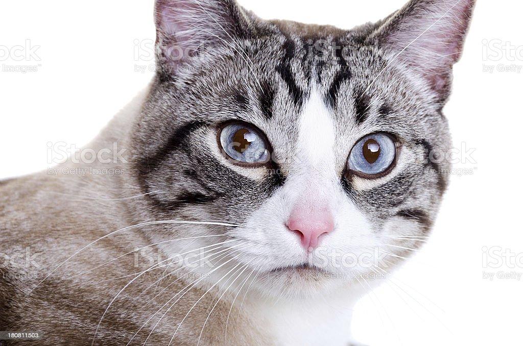Część Kot Syjamski Z Głową Obrócona Do Kamery Stockowe Zdjęcia I