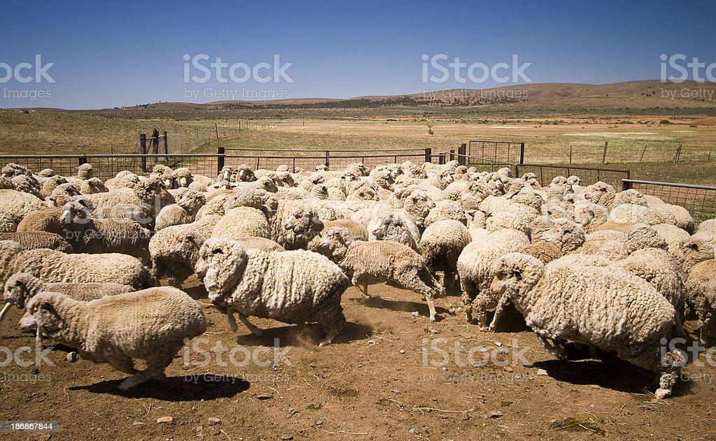 Partacoona Station Sheep stock photo
