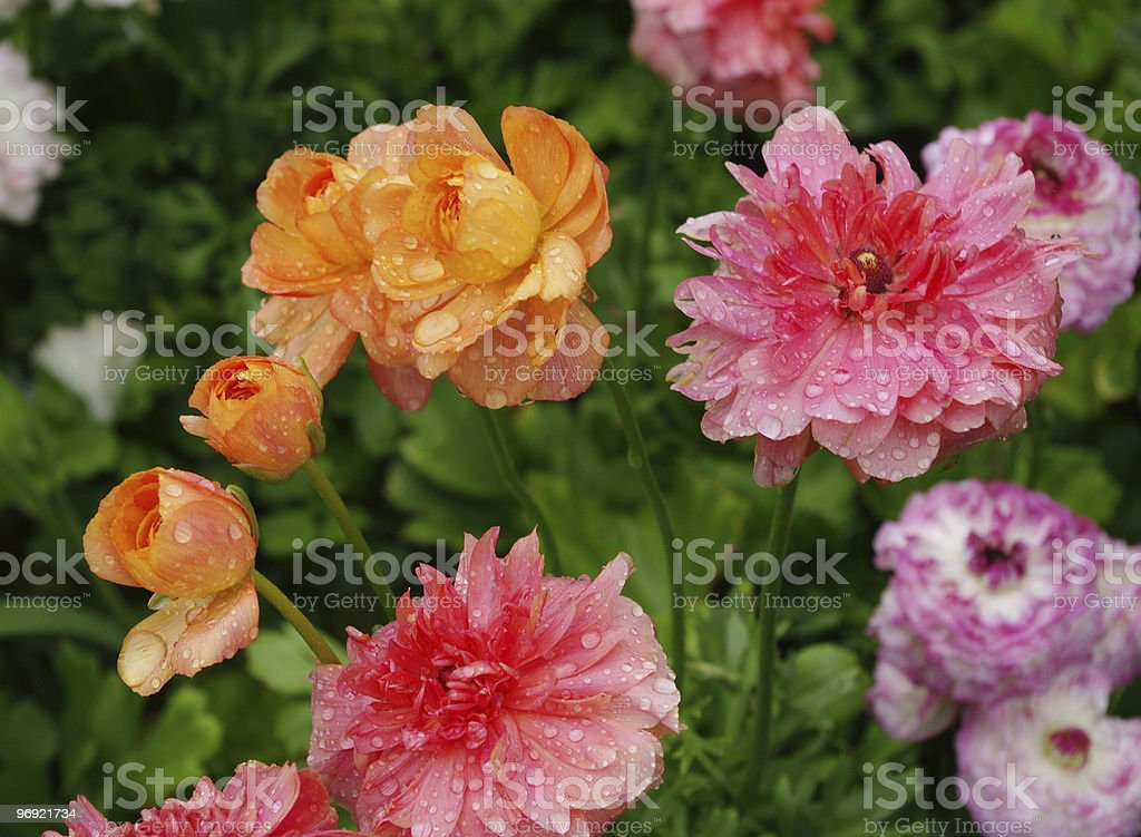 Parterre royalty-free stock photo