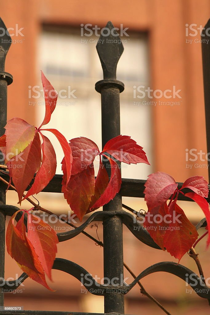 Parthenocissus royalty-free stock photo
