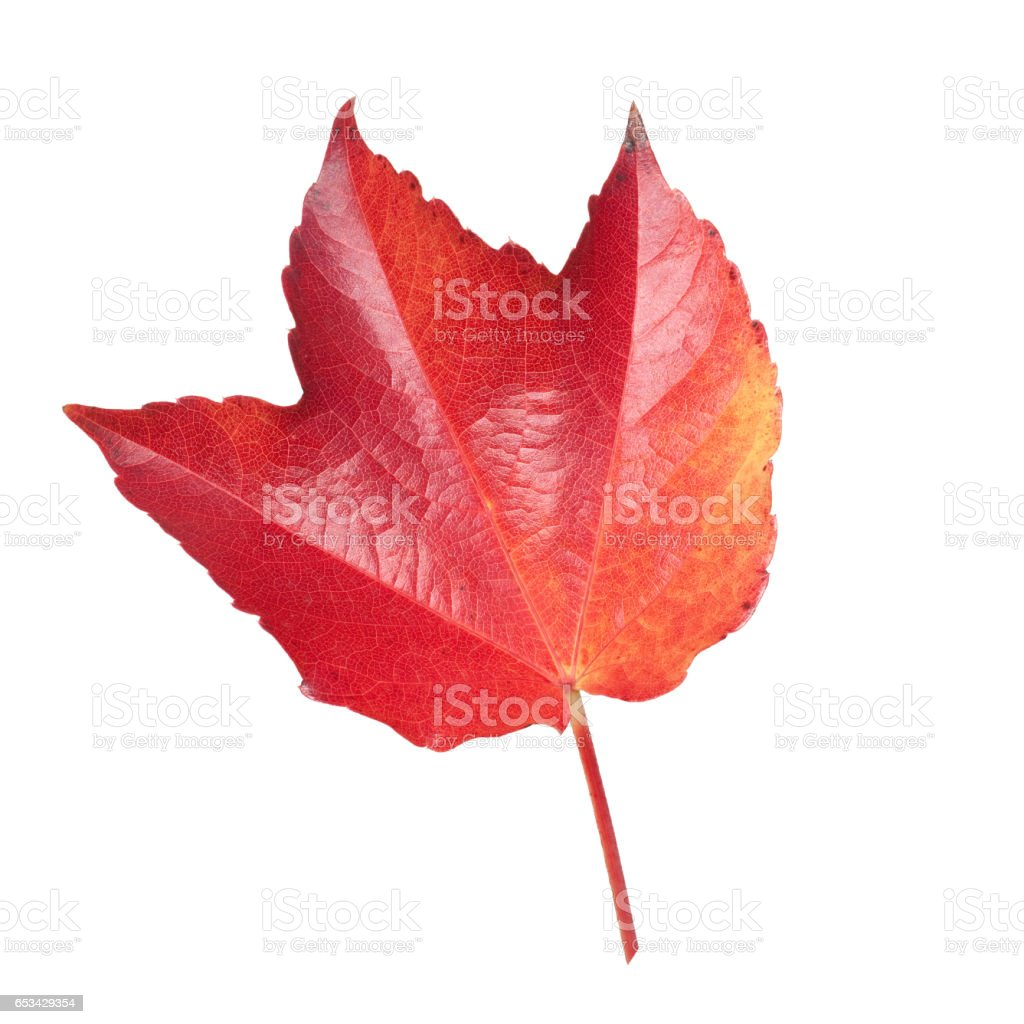 Parthenocissus quinquefolia; autumn leaf stock photo