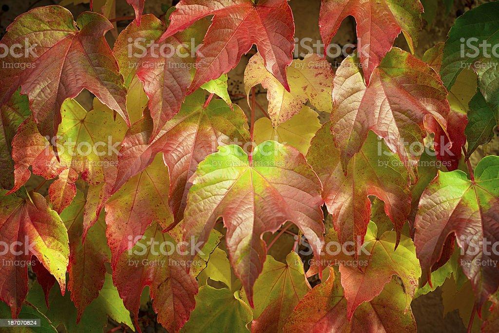 Parthenocissus quinquefolia (wild grape) royalty-free stock photo