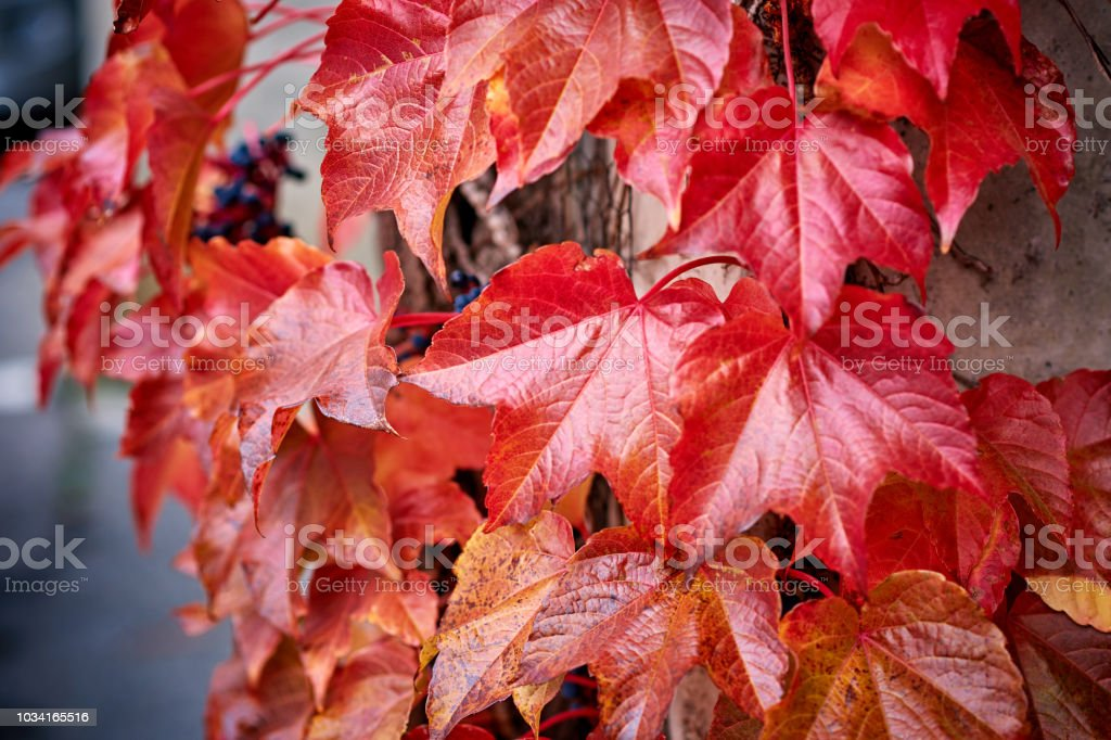 Parthenocissus Red Leaves at Autumn stock photo