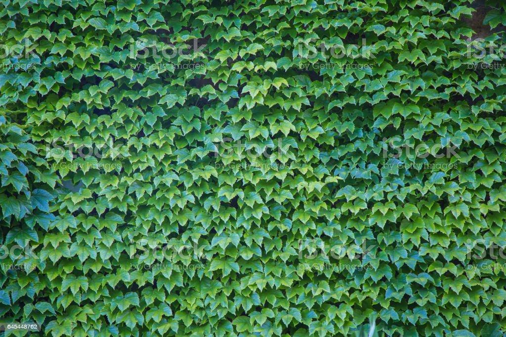 Parthenocissus tricuspidata also called Virginia creeper stock photo
