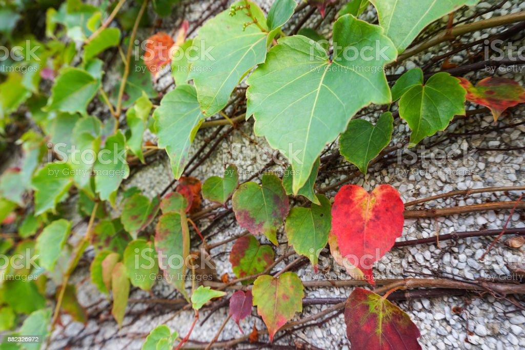 Parthenocissus tricuspidata ivy stock photo