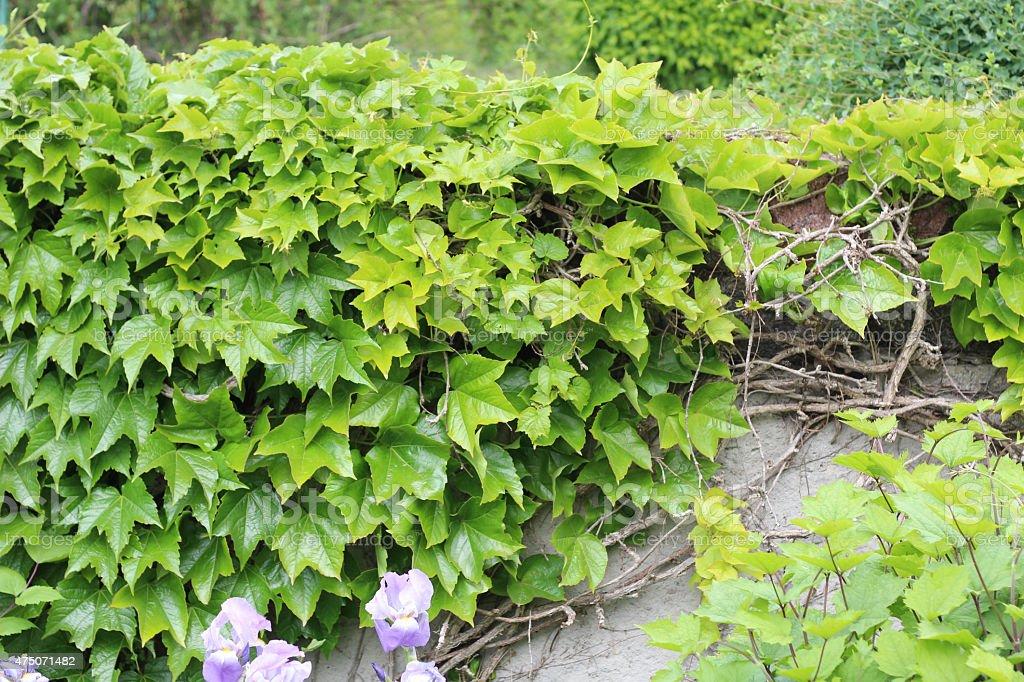 Parthenocissus tricuspidata (Boston Ivy) stock photo