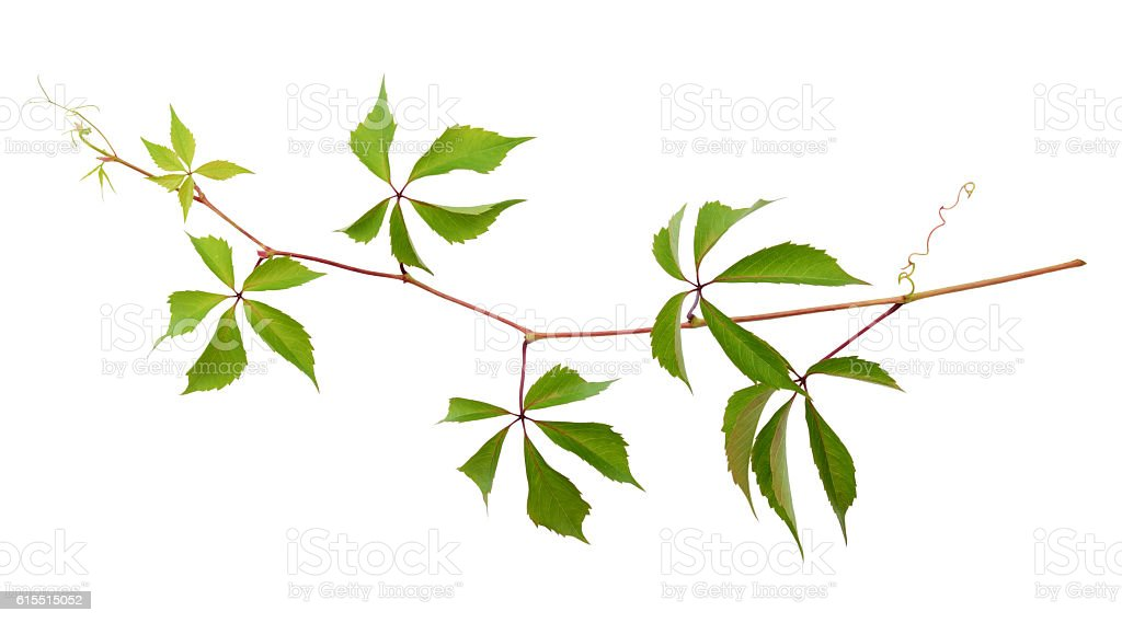 Parthenocissus twig with green leaves stock photo
