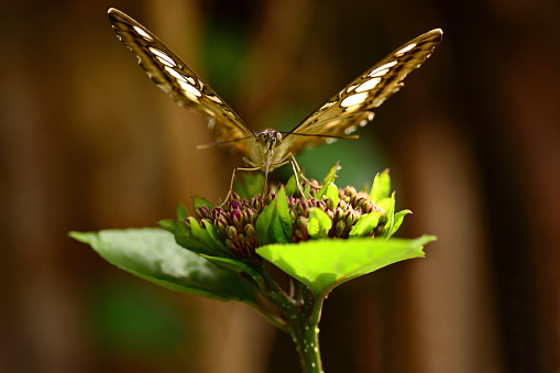 butterfly garden: single clipper ( parthenos sylvia )  is a nymphalid butterfly.