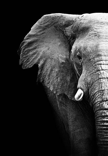 Partial image of a black and white elephant stock photo