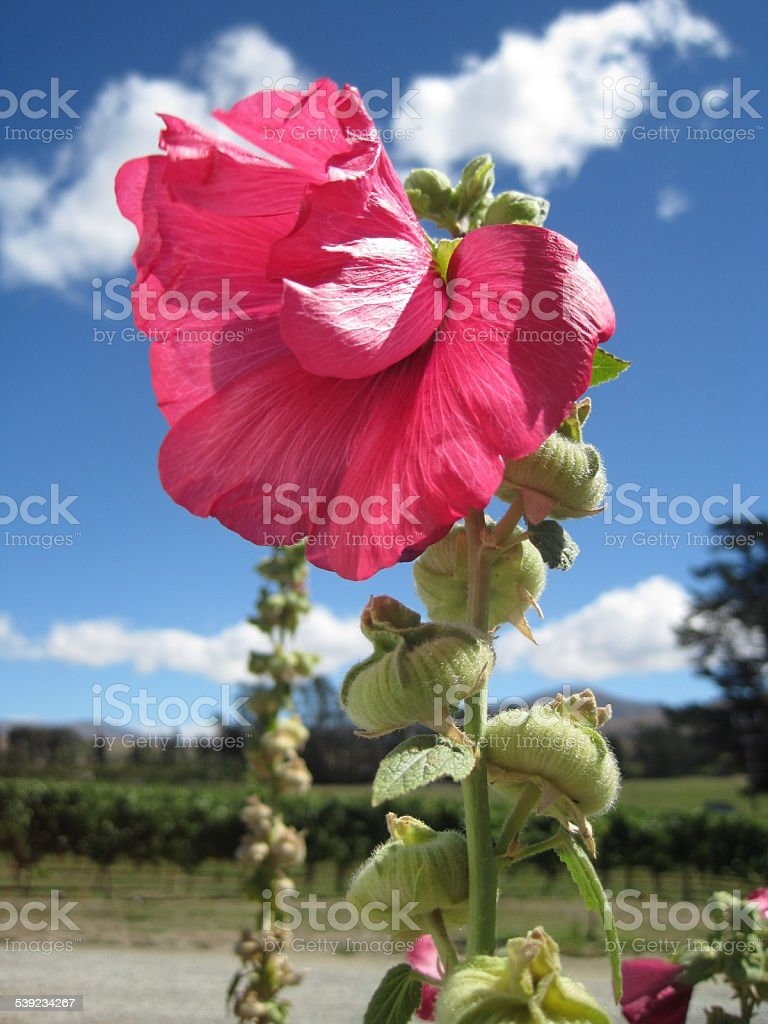 Partial Pink Flower Against Vineyard, Blue Sky in New Zealand royalty-free stock photo
