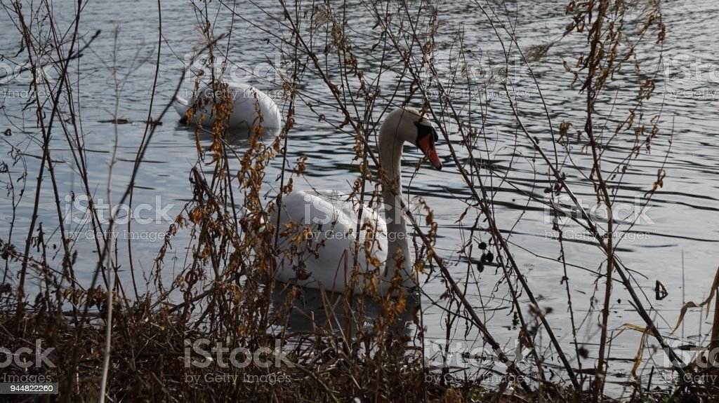 Partial view of Swans through grasses stock photo