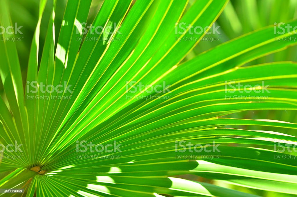 Partially backlit palm frond with leaf tips drooping stock photo