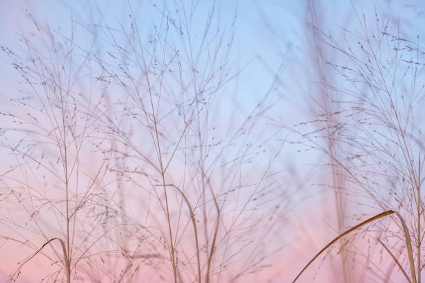 partially cloudy pastel pink and purple dusk light with blue sky over wild grasses - семейство злаков стоковые фото и изображения