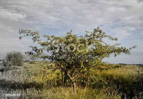 A partially colorful and partially black and white photo of a small shrub or tree with its branches covered with fruits and flowers growing in the middle of a dense field, pastureland, or meadow