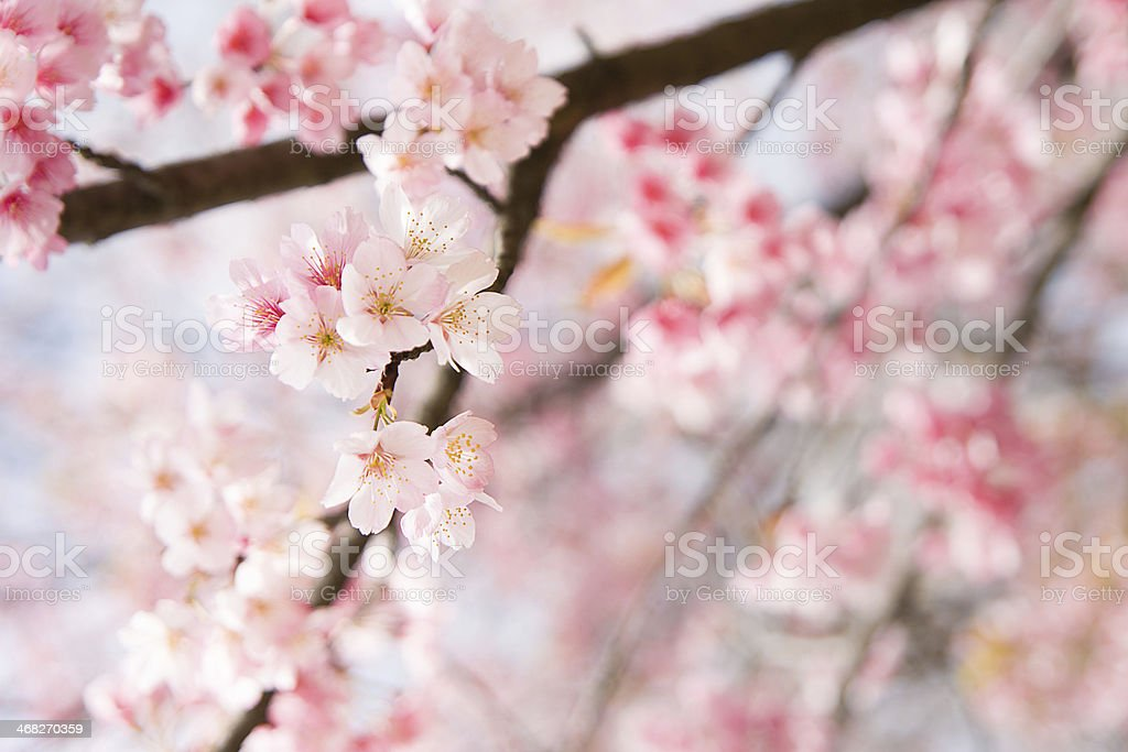 Partially focused photo of a sakura tree royalty-free stock photo