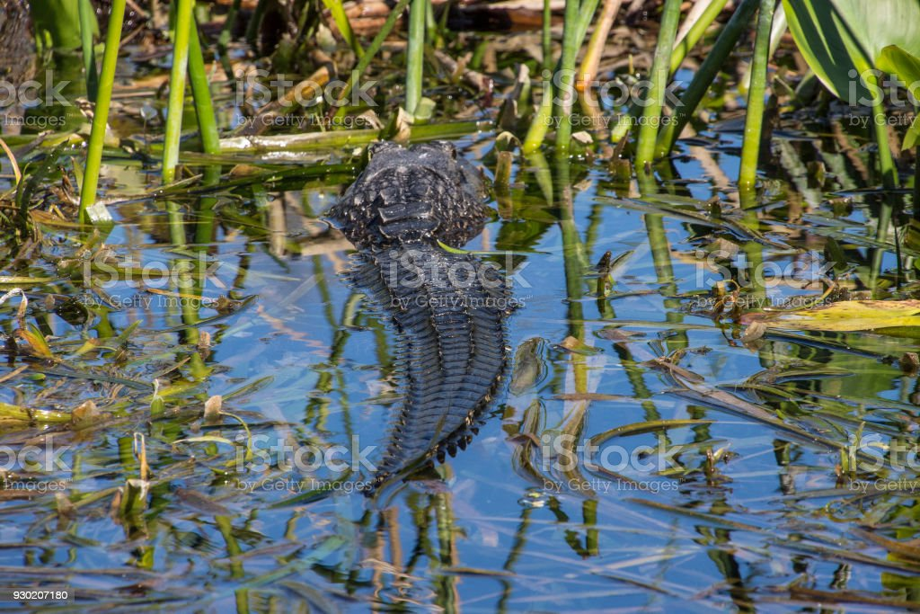 Partially submerged gator stock photo