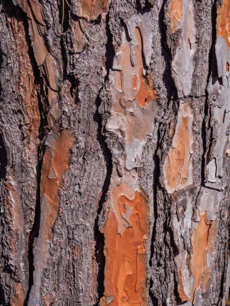 Particular pine bark - foto stock