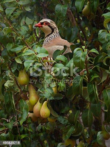 Red-legged Partridge, Alectoris rufa, in a Pear Tree in Lancashire, UK