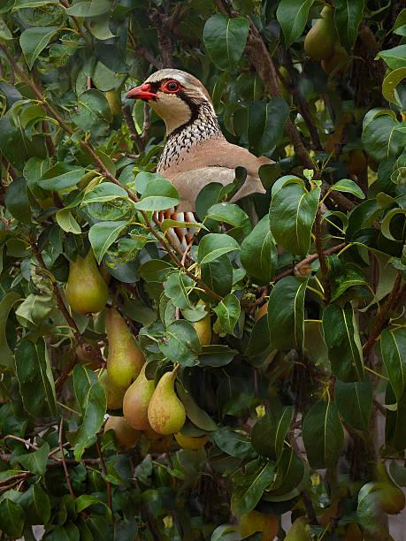 partridge in a pear tree - perdiz roja fotografías e imágenes de stock