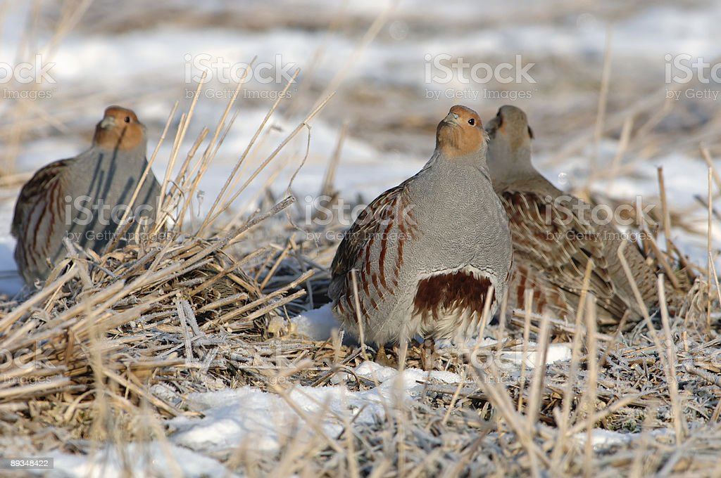 Partridge in the snow royalty-free stock photo