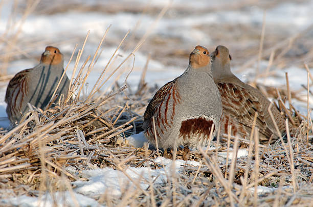 Partridge in the snow stock photo