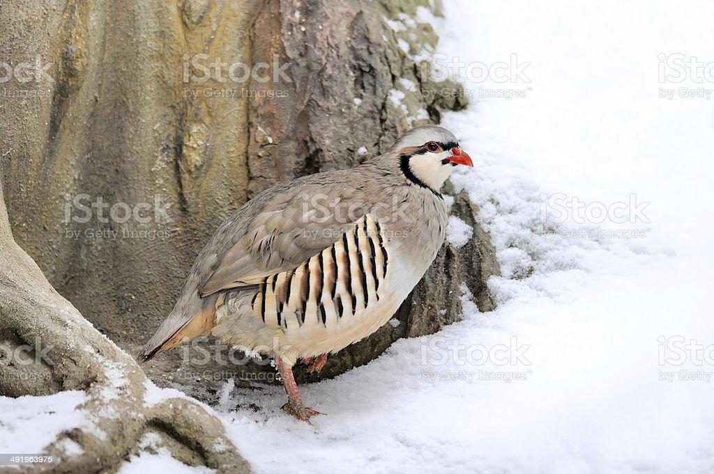 Partridge in winter stock photo