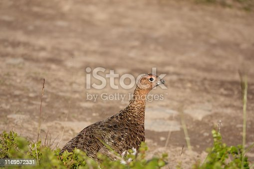 Partridge peering cautiously because herb