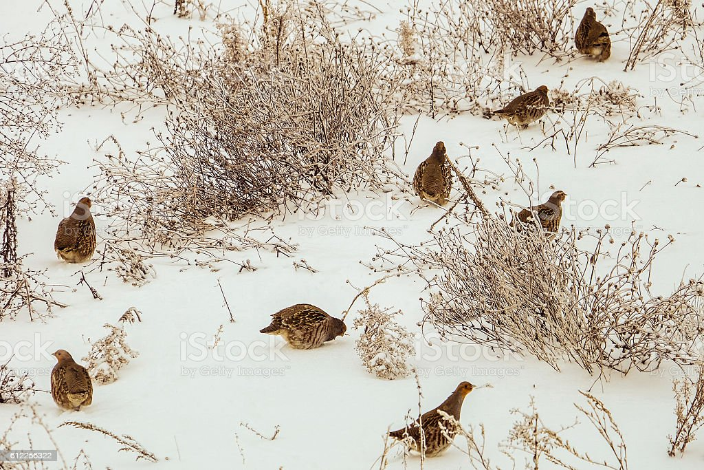 Partridges stock photo