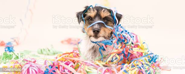 Party dog jack russell ready for carnival picture id1089551030?b=1&k=6&m=1089551030&s=612x612&h=lxh8qqwg1leme4ntc95huwglbyd3ek8knwf9bby2sby=