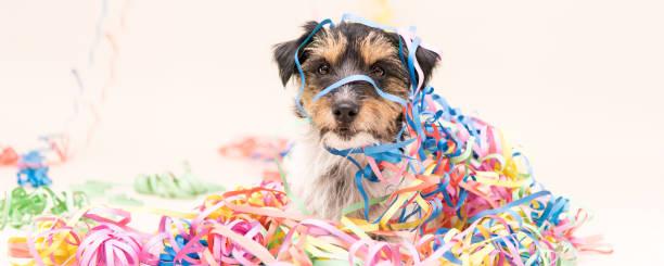 Party Hund. Jack Russell bereit für Karneval – Foto
