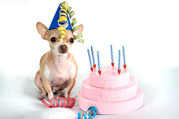 la fête - chihuahua chien de race photos et images de collection