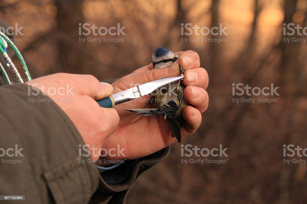 Parus caeruleus stock photo
